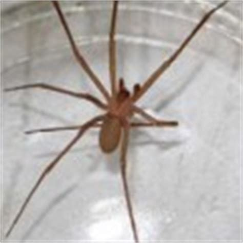 southern house spider vs brown recluse male southern house spider not recluse spider in arizona dark brown hairs