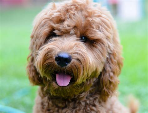 goldendoodle puppy growth goldendoodle growth curve timberidge goldendoodles