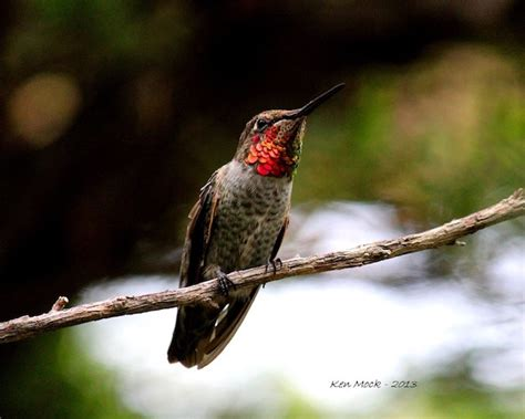 anna s hummingbird