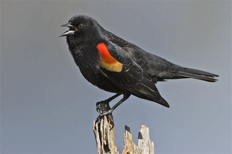 tri colored blackbird tricolored blackbird is on its way to the endangered