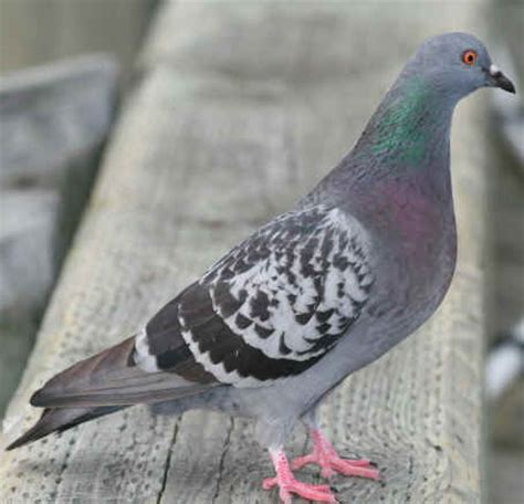 rock dove bird pigeon photos hd images free download