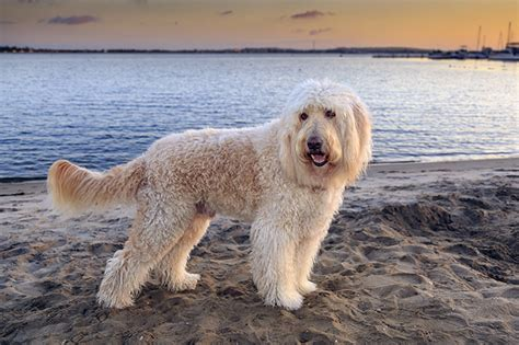 golden retriever pros and cons golden retriever poodle mix breeds hairstylegalleries
