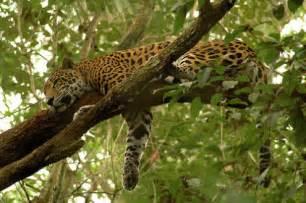 When Do Jaguars Sleep Wildlife Of The Rainforest Licensed For Non Commercial