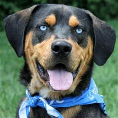 blue eyed rottweiler 1000 images about puppy plans on caucasian shepherd puppy rottweilers