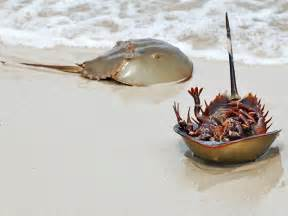 what color is horseshoe crab blood amazing horseshoe crabs with blue blood 20 pics