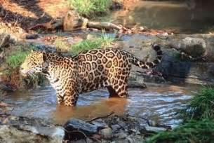 What Are Jaguars Habitats The Awesome Jaguar Big Cats