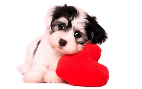 puppy i you puppy i miss you image hd wallpapers rocks