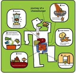 journey of a cheeseburger human digestive system for