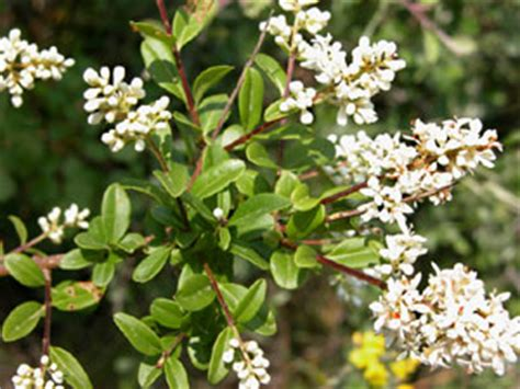 arbusto con fiori bianchi profumati ligustro