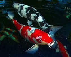 Pakan Ikan Hias Di Akuarium koi akuarium c est la vie