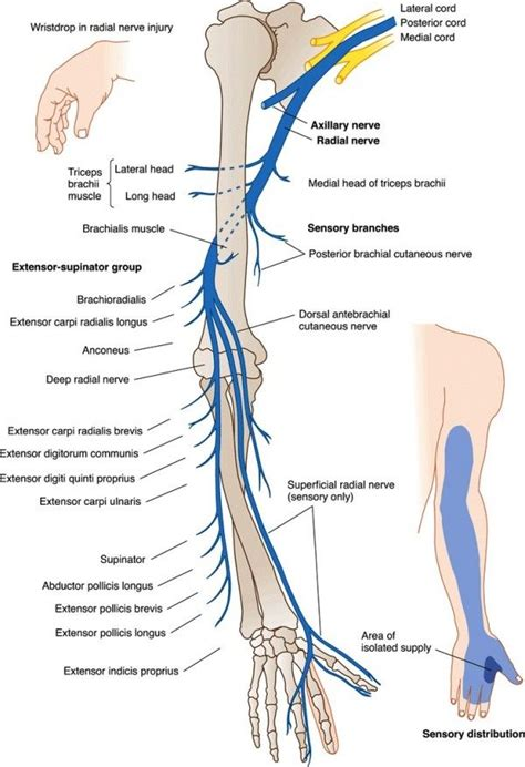 Cd E Book The Nerve radial nerve roots images healthy living roots anatomy and therapy