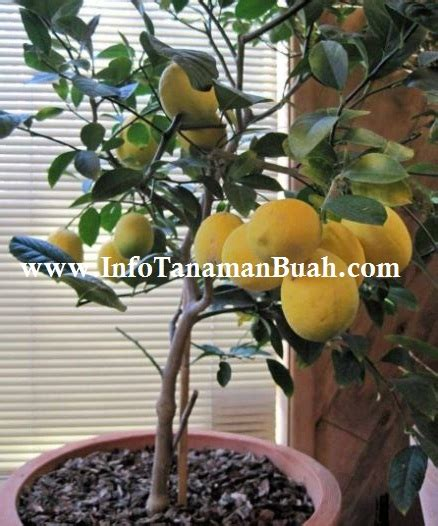 Jual Bibit Kambing Australia jual bibit lemon australia besar kuning bersih dan