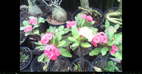 Bibit Euphorbia bibit buah tanaman hias tanaman hias euphorbia bisa