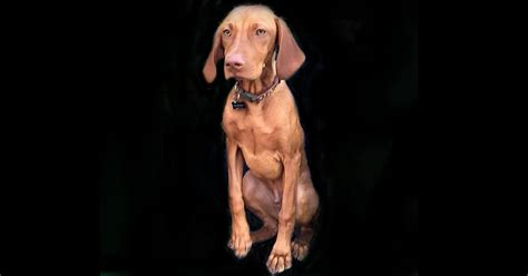 how to keep a puppy busy how to keep your vizsla puppy busy white river kennels