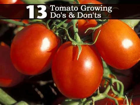 tips for growing tomatoes gardening delights pinterest