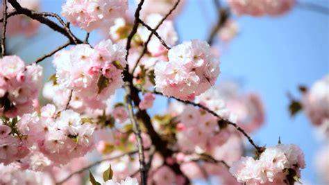 shinjuku gyoen national park japanese sakura trees cherry blossom fruit tree trees nature tokyo