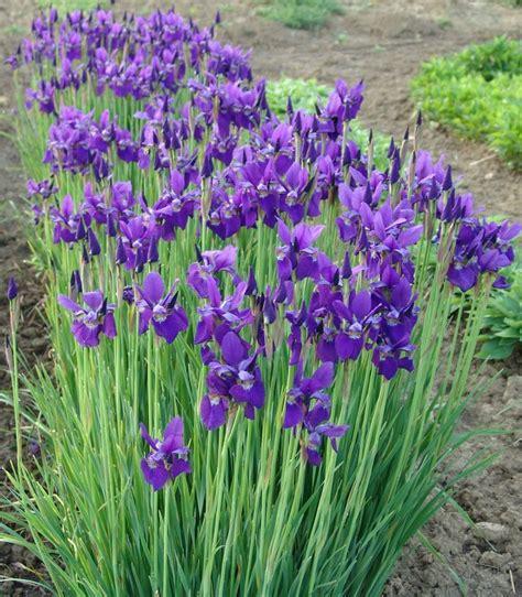 112 Best Images About Mountain Yard On Pinterest Gardens Iris Flower Garden