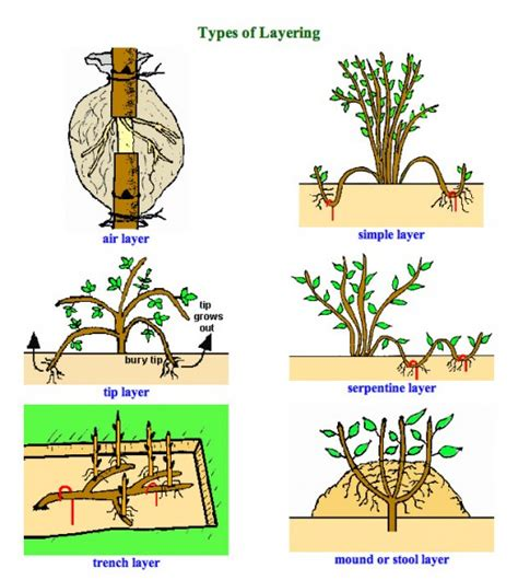 layering plants for propagating new plants in your garden