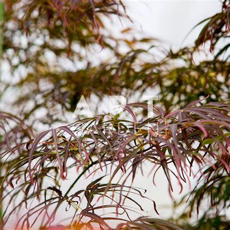 Erable Du Japon by L Acer Palmatum Villa Taranto Est Un Arbuste Du Japon