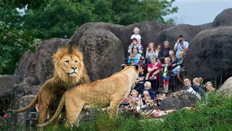 imagenes de leones en zoologico un zool 243 gico dan 233 s mata un le 243 n e invita a los ni 241 os a ver