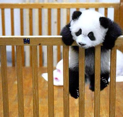 Baby Panda Climbing Out Of Crib by 102 Best Images About Animal Escape Artists On