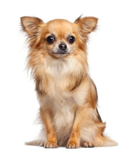 pictures of long haired chihuahua haircuts best 25 short haired chihuahua ideas on pinterest short