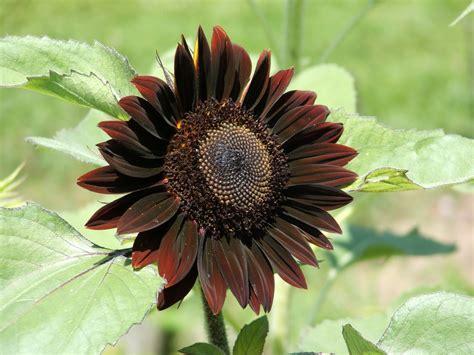god s growing garden sunflowers black velvet queen