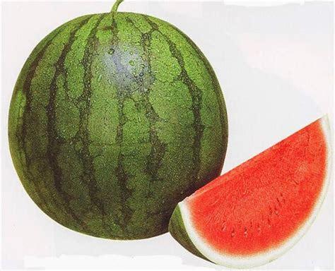 gambar buah semangka gambar gambar buah