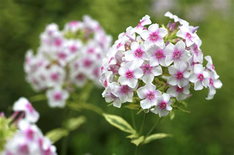 from tall kinds to short phlox flowers