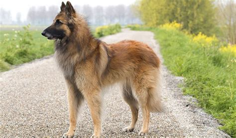 most popular breeds 2017 top selling breeds breeds picture