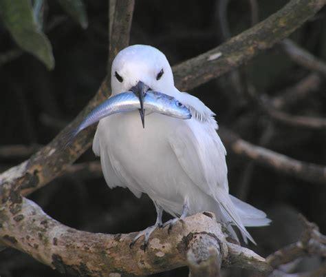hawaiian seabirds on low lying atoll vulnerable to sea