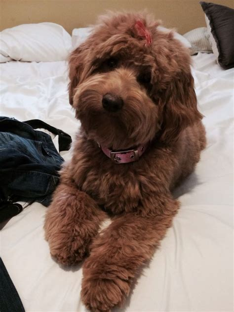 10 best images about australian labradoodle colors on