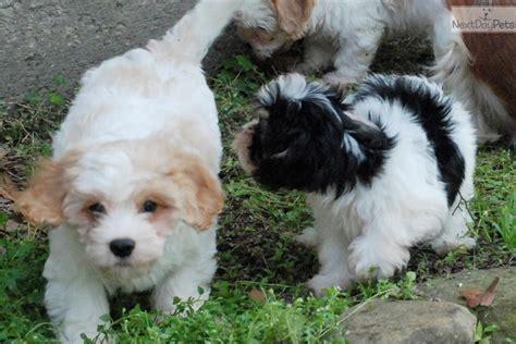 cavalier havanese meet cavanese a cavanese puppy for sale for 1 200 cavanese trained akc
