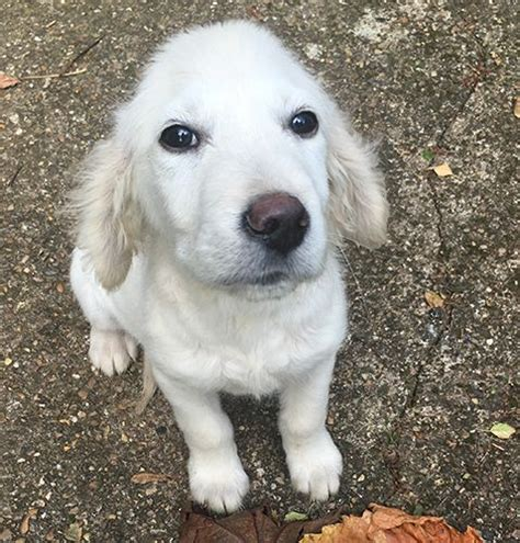 16 week golden retriever golden retriever 16 weeks grantham lincolnshire pets4homes