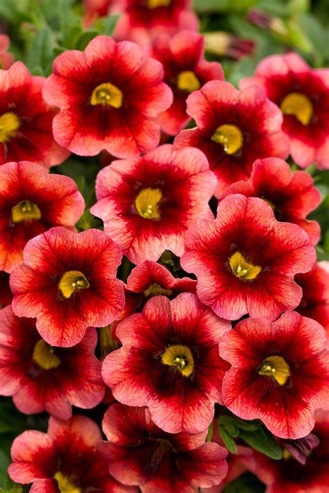 superbells 174 coralberry punch calibrachoa hybrid proven winners