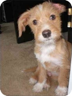 terrier mix puppies for adoption georgie adopted puppy algonquin il terrier unknown type small terrier mix