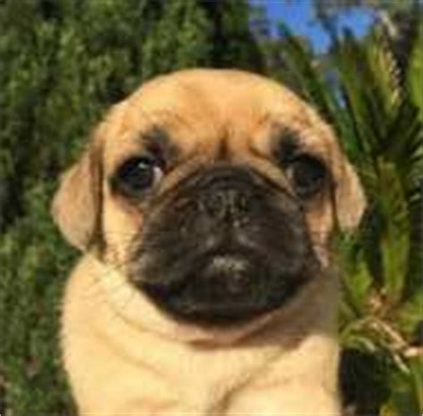 pugs for sale sydney puggle puppies for sale sydney dogs puppies pets