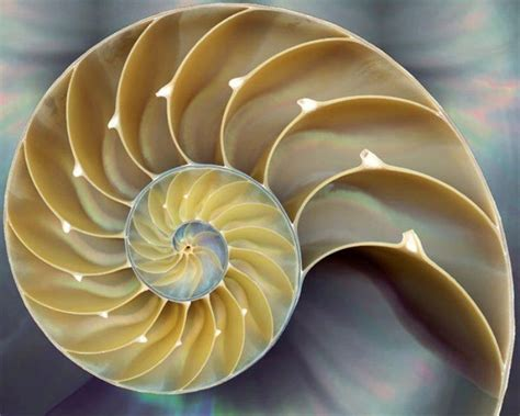 nautilus cross section cross section of a nautilus shell one of the clearest