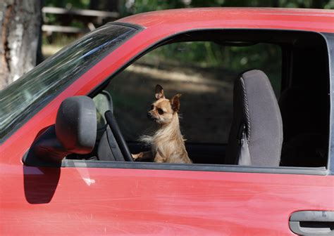 car dogs dogs in cool cars talented animals