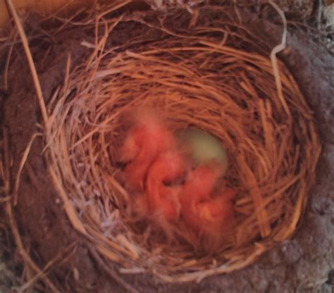 best 28 how after hatching do robins fly american