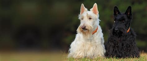 tennessee rescue tennessee scottish terrier rescue network recycling scottie