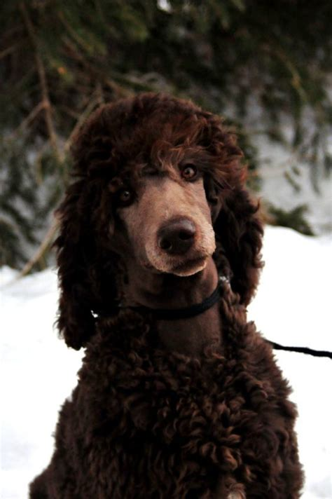 poodles long hair in winter 30 poodle haircuts you ll definitely love hairstylec