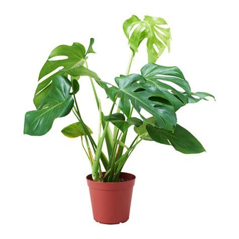 monstera ikea monstera adasonii potted plant ikea