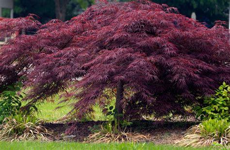 crimson queen japanese maple maples n more nursery