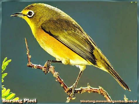 Pakan Juara Burung Bird Favorit 224 best images about burung cantik on birds passerine and beautiful birds