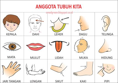 Alat Kerik Atau Kerok Badan contoh gambar atau alat peraga pengenalan gambar anggota tubuh manusia untuk pendidikan anak