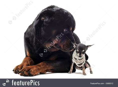 chihuahua and rottweiler pets chihuahua and rottweiler stock picture i3069312 at featurepics