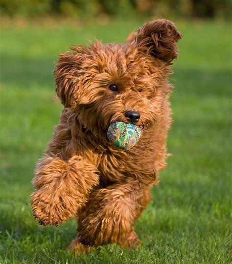 mini doodle karakter australian labradoodle rassen honden hondenrassen