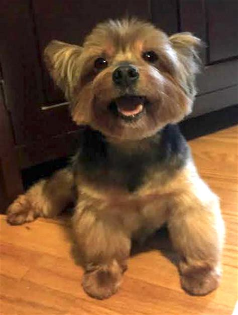 yorkie websites holliston s web page