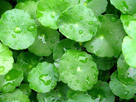 Daun Pegagan Kering Nutrisi Penambah Daya Ingat manfaat herbal pegagan untuk tubuh
